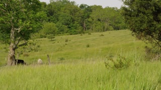 Cows Grazing On West Virginia Farm