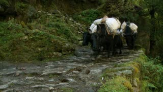 Cows on Trail with Packs on Back