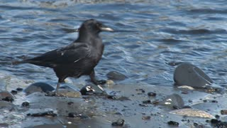 Crow Hunting for Food on Rocky Shoreline