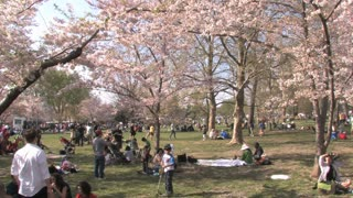Crowds of People at the Cherry Blossom Blooms