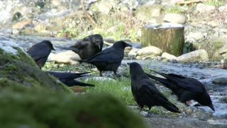 Crows scavenging