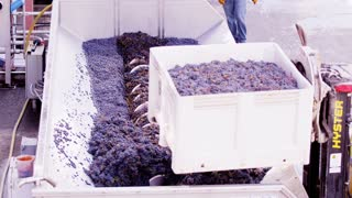Crushing Napa Valley Grapes