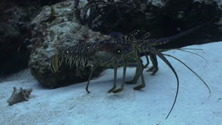 Crustacean Walking Along Ocean Floor