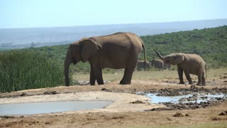 Cute baby elephant playing with his trunk in Addo Elephant National Park South Africa