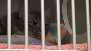 Cute Cat Laying Down in Cage at Animal Shelter