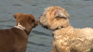 Cute Dogs Playing In Water