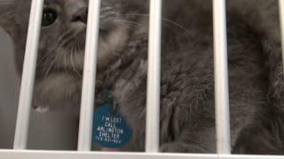 Cute Gray Cat With Face Up Against the Cage