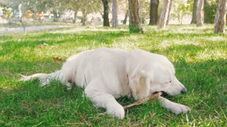 Cute retriever labrador dog gnawing wooden stick in park