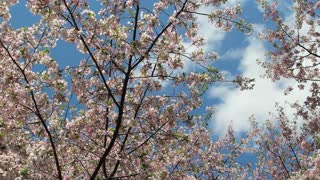DC Cherry Blossoms Cloudy Sky