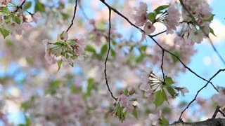 Delicate Cherry Blossom Flowers