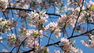 Delicate Cherry Blossom Petals