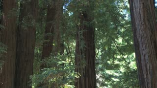 Dense Redwood Forest
