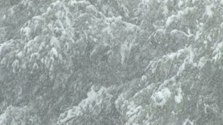 Dense Snow Fall In Evergreen Forest