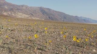 Desert Flwoers