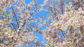Dipping Cherry Blossom Branches