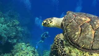 Divers Watch Big Sea Turtle Swim Away