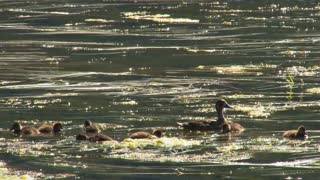 Diving Ducklings