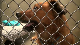 Dog Barking in Cage at Animal Shelter