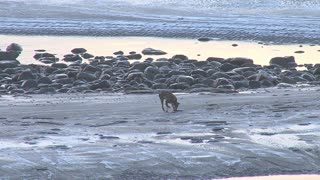 Dog Picking Up Frisbee on Icy Frozen Beach