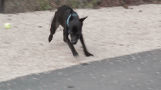 Dog Running And Playing With Ball