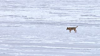 Dog Running on Frozen Bay