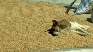 Dog Sleeping on Roof in Sand in Nepal
