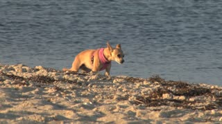 Dog Standing on Evening Shoreline