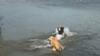Dogs Swim After Stick