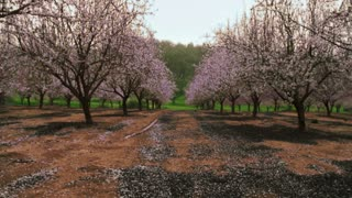 Dolly Into Orchard With Pink Blossoms