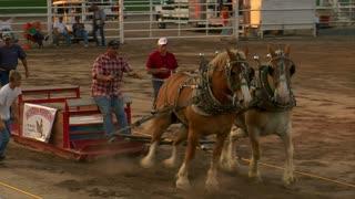 Draft Horses Pull Sled