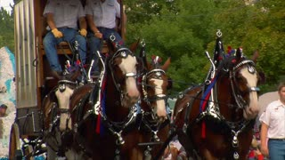 Draft Horses Pull Wagon In Parade