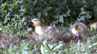 Duck Babies Scavenging