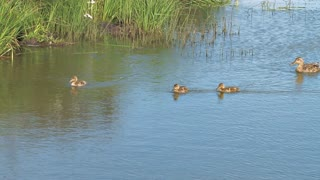 Ducklings Swimming and Diving Near Edge of Water