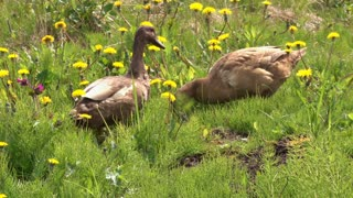 Ducks in Dandelion Patch
