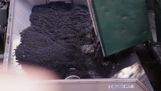 Dumping Wine Grapes For Crushing