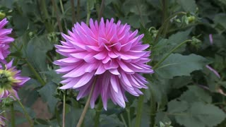Electric Purple Aster