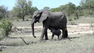 Elephant calf drinking milk in Kruger National Park South Africa