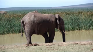 Elephant drinks from a waterpool in Addo Elephant National Park South Africa