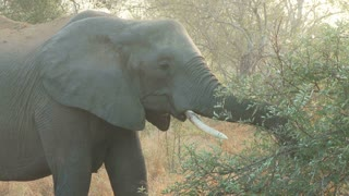 Elephant Eating 2