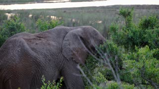 Elephant eating from a tree in Kruger National Park South Africa