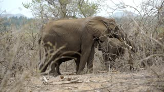 Elephant eating from the bush with two calves around him in Kruger National Park South Africa