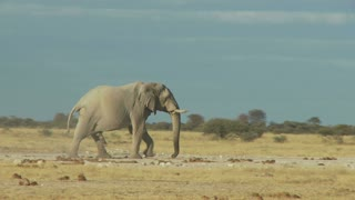 Elephant In Dry Field