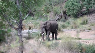 Elephant looking for food in Kruger National Park South Africa