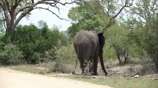 Elephant next to the road in Kruger National Park South Africa