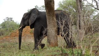 Elephant scratching his leg and ass to a tree in Kruger National Park South Africa