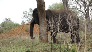Elephant scratching his skin to a tree in Kruger National Park South Africa