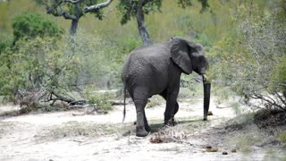 Elephant searching for food with his trunk and walks away in Kruger National Park South Africa