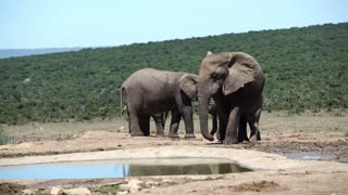 Elephant stretching his leg around the waterpool in Addo Elephant National Park South Africa