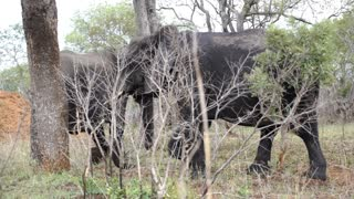 Elephant walking to a tree for scratching his skin to a tree in Kruger National Park South Africa