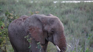 Elephant walks to a tree to eat in Kruger National Park South Africa